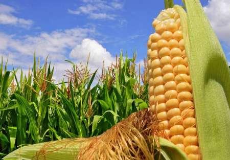 کشت ذرت دانه ای در 3 هزار هکتار